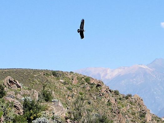 Bird over Cruz del Condor in Peru
